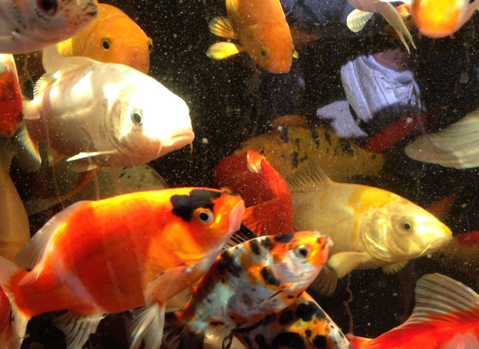 Clear water pond filters and custom water features for Koi fish australia